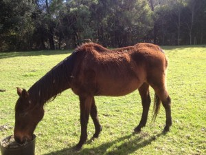 Neglected horse being cared for